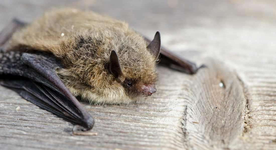 Native bats are being killed just by being in the vicinity of spinning turbine blades.